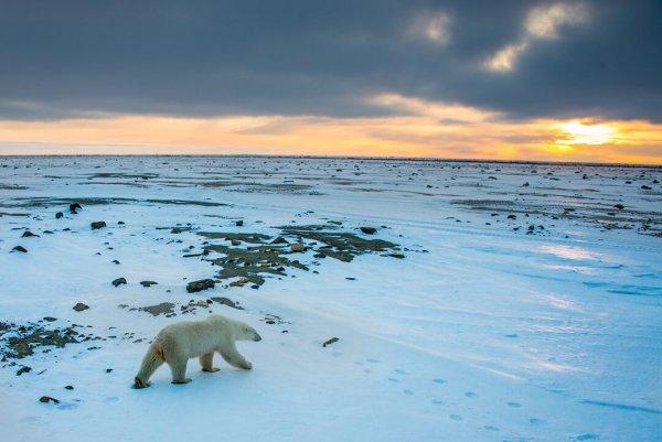A polar bear walks across the tundra as the sun sets in the distance.