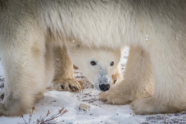 A polar bear cub peeks out from under its mother.