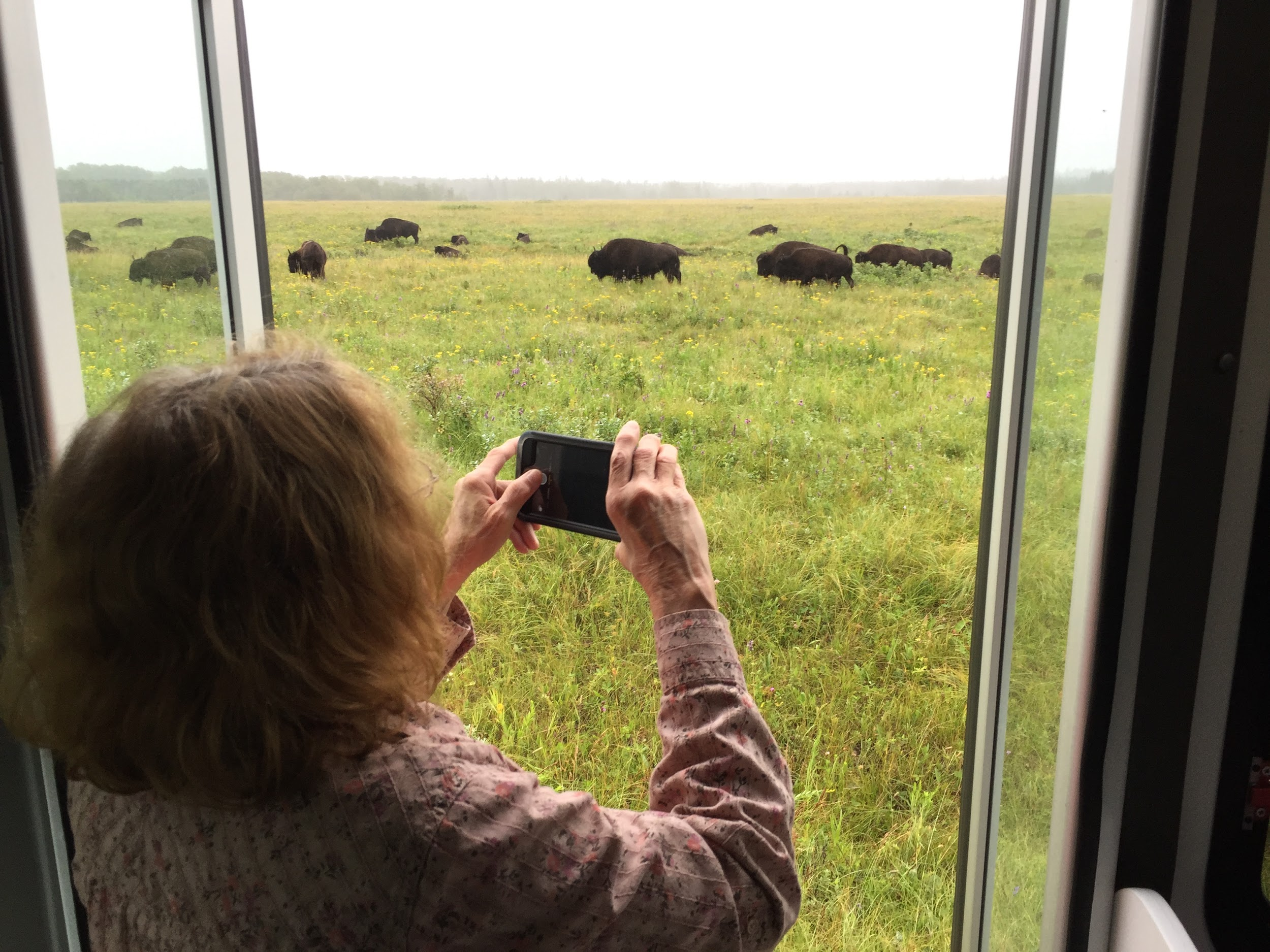 A guest takes pictures of bison in Riding Mountain National Park