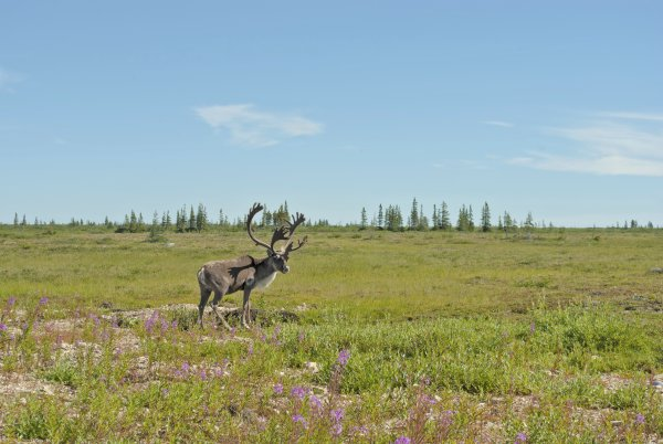 A single caribou stands on the tundra in the summer time with a clear blue sky overhead