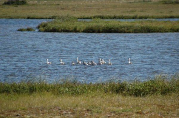 Snow goose swim in a pond on the tundra.