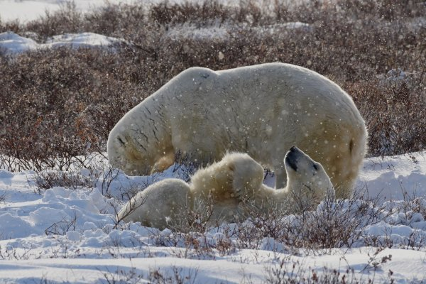 Two polar bears roll in the snow near willows.