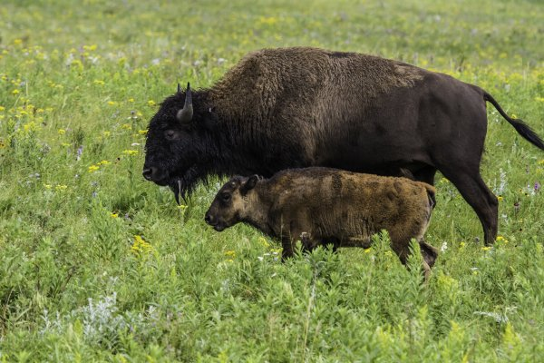 Two bison walk in prairie grass.