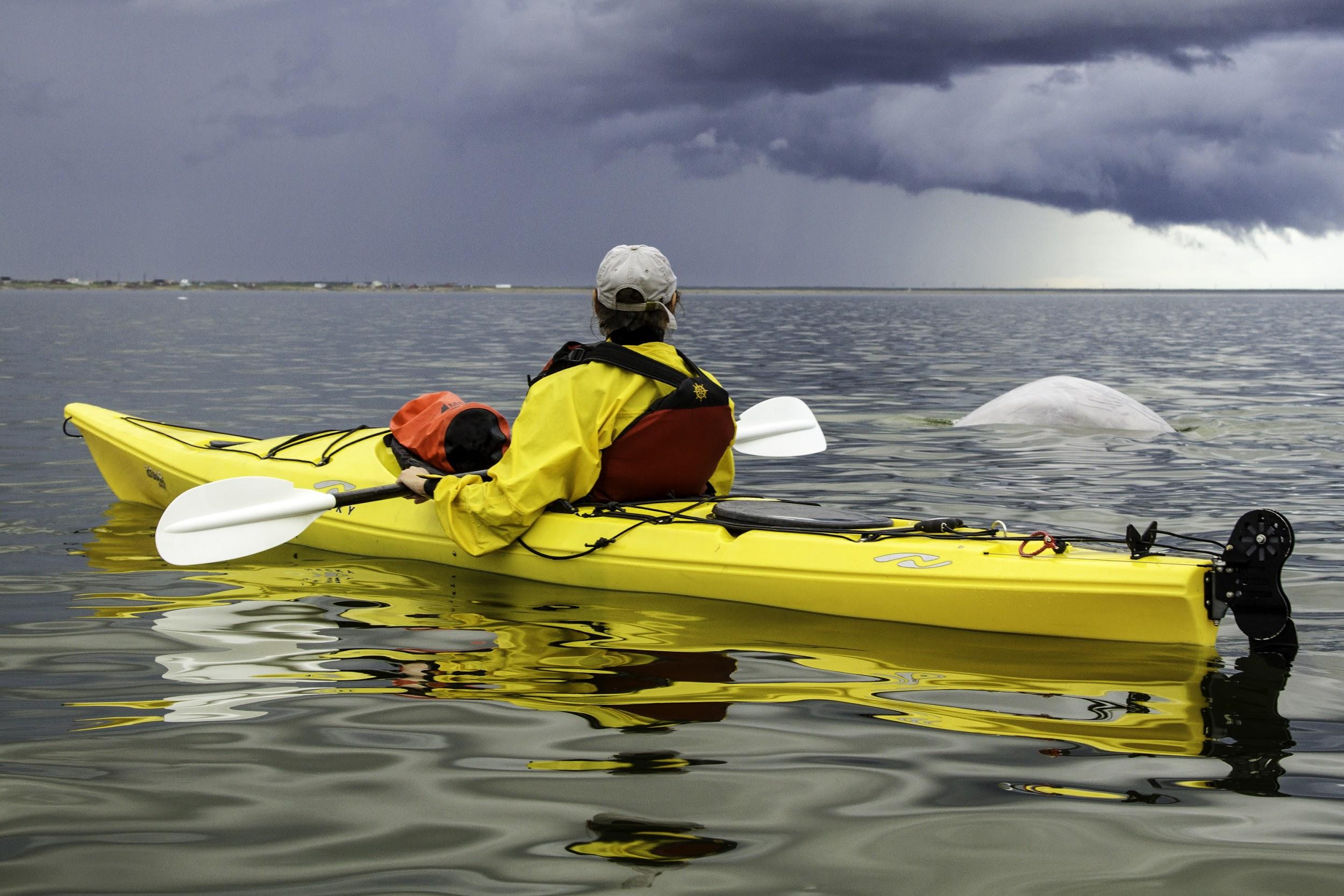 A kayaker watches belugas on the Churchill River