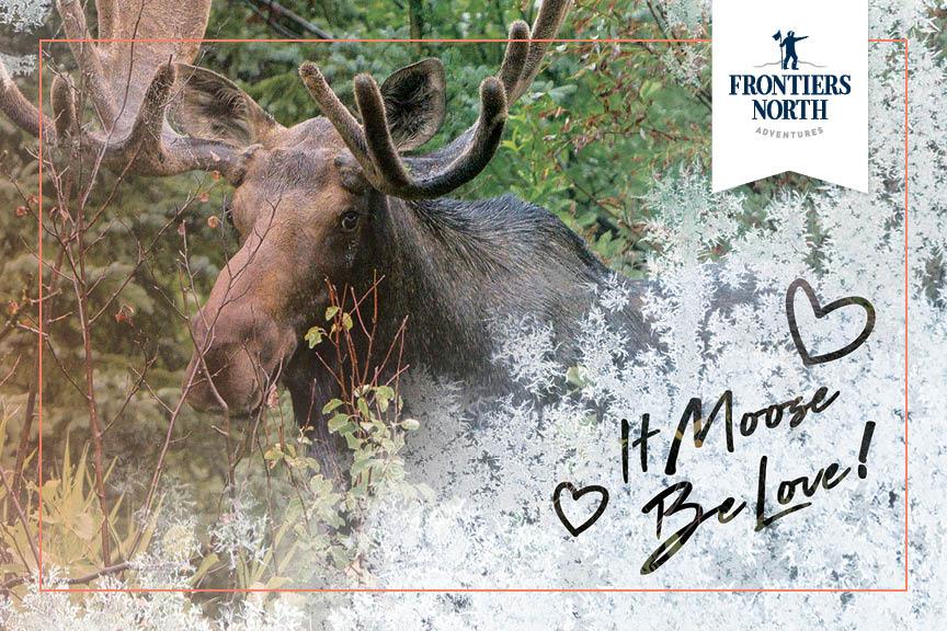 A moose walks through dense forest.
