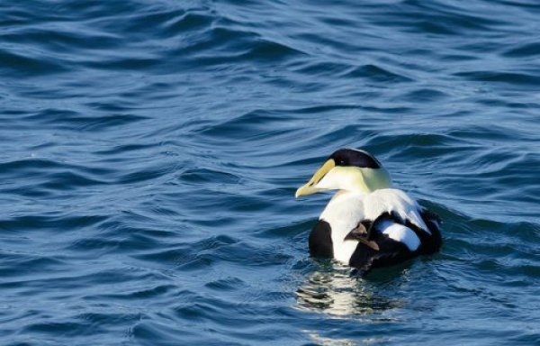 An eider duck floats in the water.
