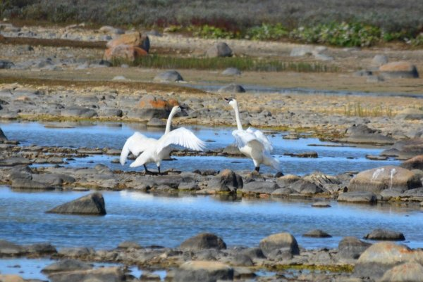 Two tundra swans standing amongst the rocks and water.