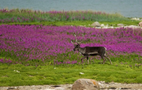 A caribou walks the tundra in front of a large patch of fireweed.