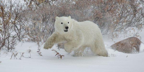 A polar bear cub plays in the snow.