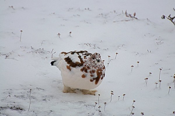 A willow ptarmigan walks on the snow in the winter.