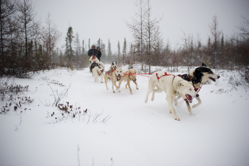 Sled dogs run through a forest